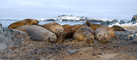 Information About Elephant Seals Elephant Seal Behavior And